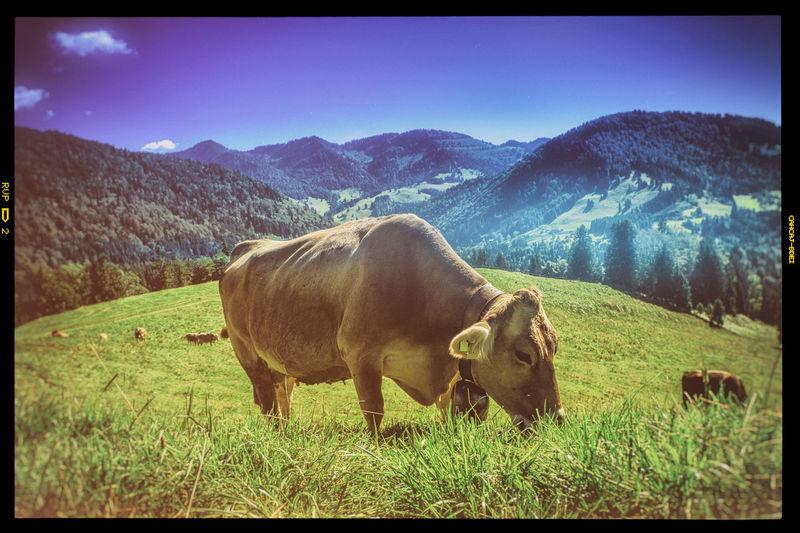 Allgäu Almwiesen Alpen Animals Berge Blue Mountains Sky Tiere Vintage Style