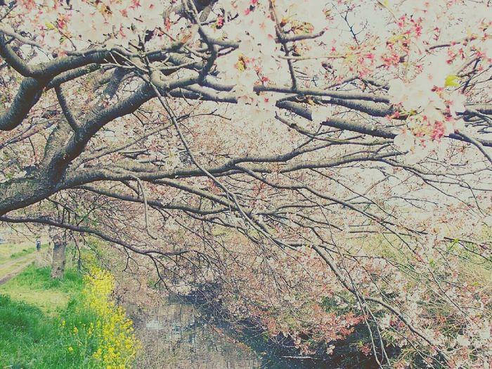 今井の桜 花 EyeEm Flower Enjoying Life Spring Flowers 春 Chellyblossom 桜 Spring Flowers 今井の桜