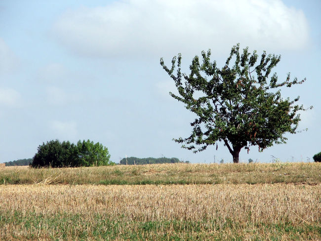 Charente Agriculture Beauty In Nature Cereal Plant Crop  Day Farm Field Growth Haystack Hello World Landscape Nature No People Olive Tree Outdoors Rural Scene Scenics Sky Tranquil Scene Tranquility Tree Ymoart