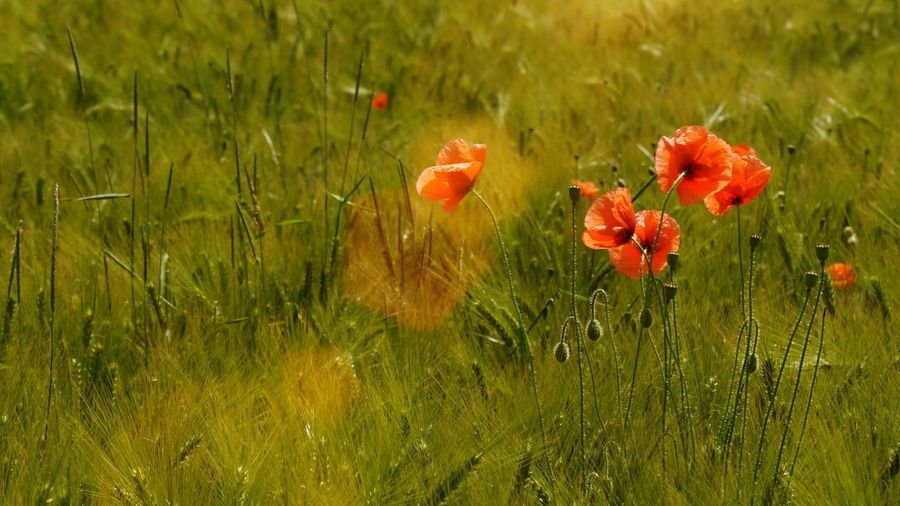 Light up Landscapes Nature's Diversities Lonely Poppy In Cereal Field Blob Red Blobs Flowers Flower Collection Poppies Blooming EyeEm Gallery Naturelovers Nature Photography Flower Photography Colorsplash Sunrays Spotlight Sunshine Cereal Field Poppies In Cereal Field Sommergefühle