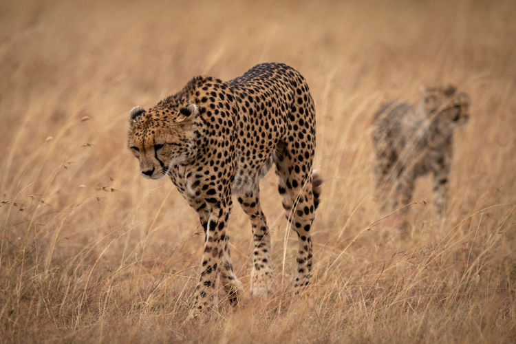 Cheetah family walking on grassy field