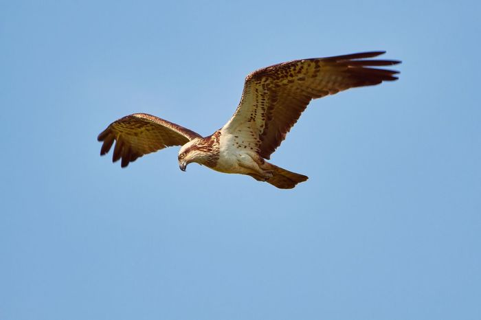 Osprey hunting and flying in the sky Animal Themes Animal Wildlife Animals In The Wild Beauty In Nature Bird Bird Of Prey Birding Blue Clear Sky Day Flying Hunting Low Angle View Mid-air Nature No People One Animal Osprey  Outdoors Sky Spread Wings