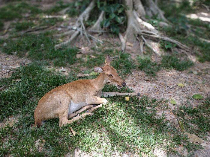 Deer in Open