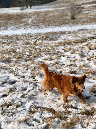Annie Dog Nsdtr Toller
