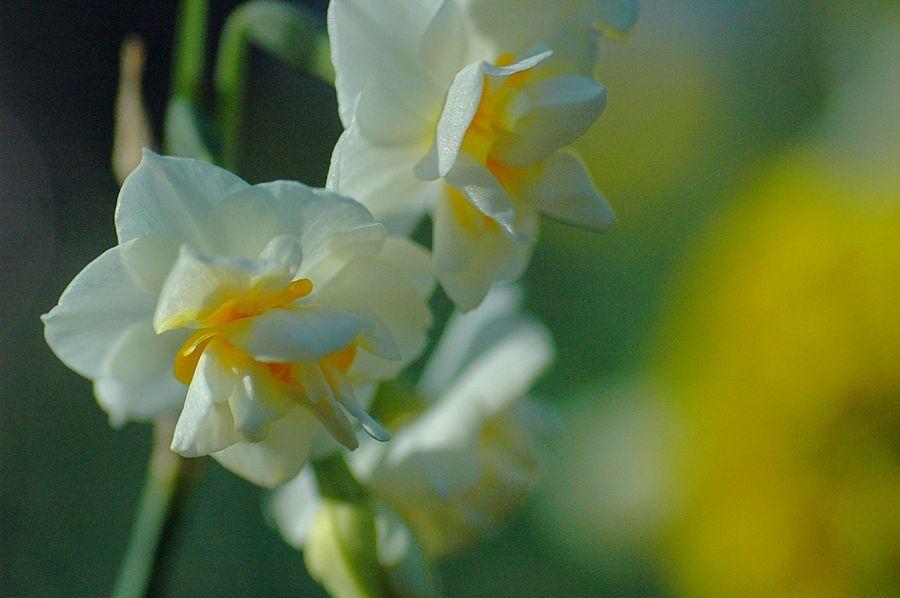 Macro Beauty Flower Collection Macro Colorful EyeEm Nature Lover Showcase: January Colors Flowerporn Bokeh Fleshyplants Narcissus Flowers Bokeheffect EyeEm Flower