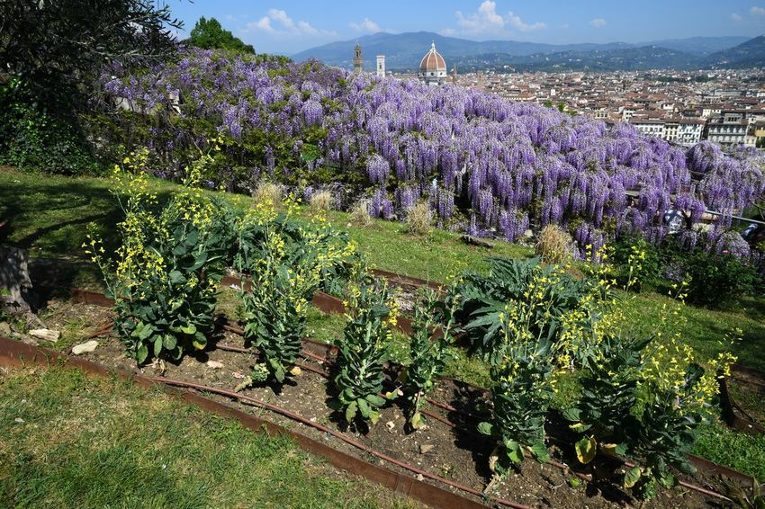 Beautiful Blooming Purple Wisteria at Bardini Garden in Florence with Cathedral of Santa Maria del Fiore on Background, Florence, Italy Cathedral Duomo Di Firenze Firenze Natural Plants Wisteria Wisteria Flower Wisteria In Full Bloom Beauty In Nature Blooming Blooming Flower Blue Sky Brunelleschi's Dome Campanile Di Giotto Day Dome Flowers Garden Landscape Nature No People Outdoors Purple Spring Tree