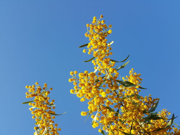 Yellow Blossoms Yellow Blue Tree Blue Sky Clear Sky Branch Sunny Outdoors Low Angle View Nature Plant Beauty In Nature
