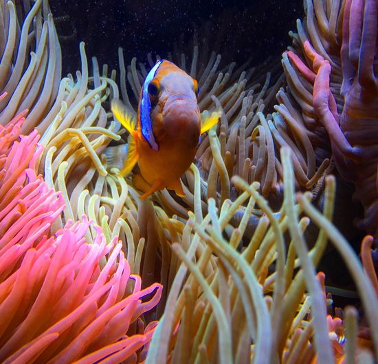 This clarki clownfish is meanest guard. Clarkiclownsfish Clownfish Fish Anemone Aquarium Capture The Moment