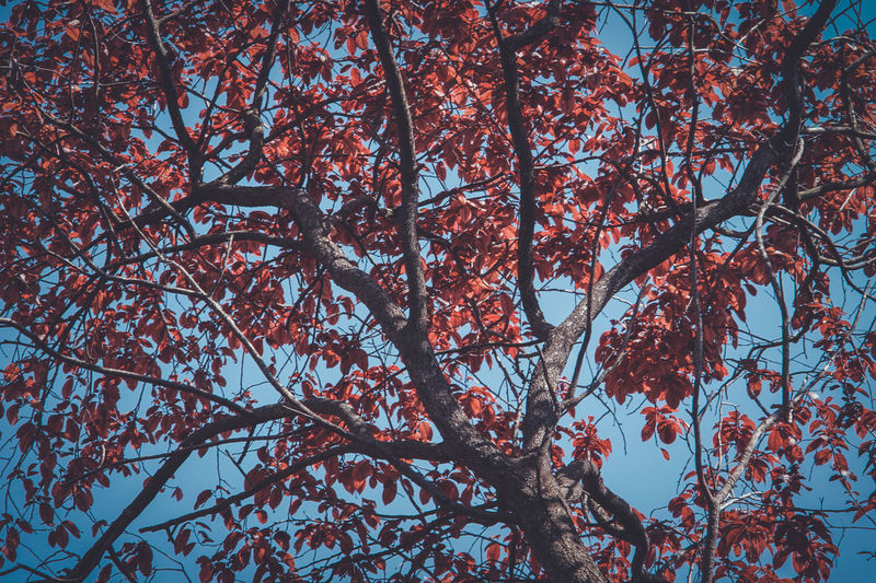 Autumn Beauty In Nature Blossom Branch Change Cherry Blossom Cherry Tree Day Flower Flowering Plant Fragility Full Frame Growth Low Angle View Nature No People Outdoors Plant Sky Springtime Tranquility Tree