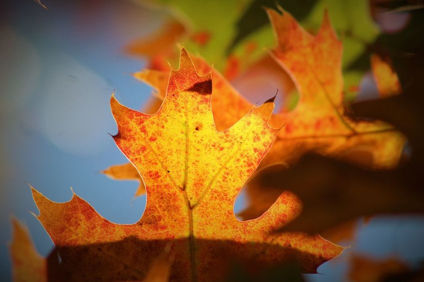 Autumn Beauty In Nature Change Close-up Day Focus On Foreground Leaf Maple Maple Leaf Nature No People Outdoors EyeEmNewHere