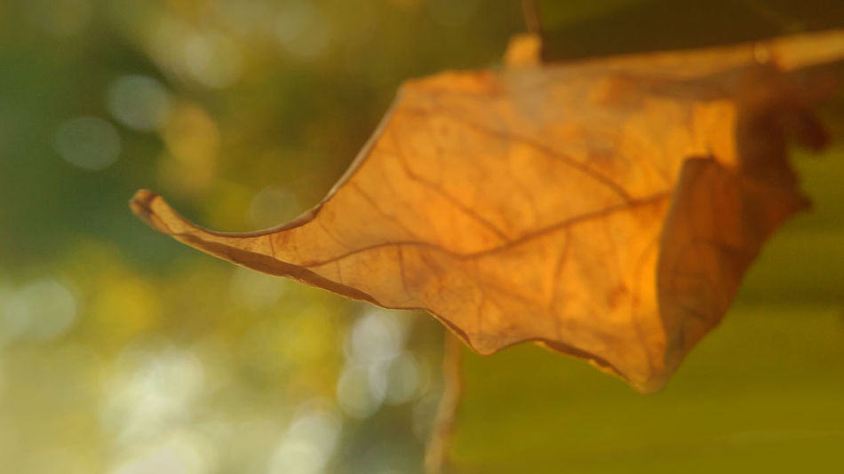 Golden Leaf Leaf 🍂 Leafs Natural Beauty Nature Nature Collection Nature Photography Autumn Beauty In Nature Change Close-up Day Dry Focus On Foreground Fragility Golden Leaf Leaf Leaf Photography Maple Maple Leaf Nature Nature_collection Naturelovers Naturephotography No People Outdoors