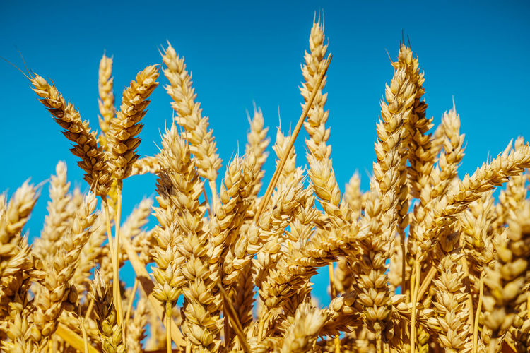 Agriculture Beauty In Nature Blue Cereal Plant Close-up Crop  Day Farm Field Food And Drink Growth Land Landscape Nature No People Oat - Crop Plant Rural Scene Sky Wheat Yellow