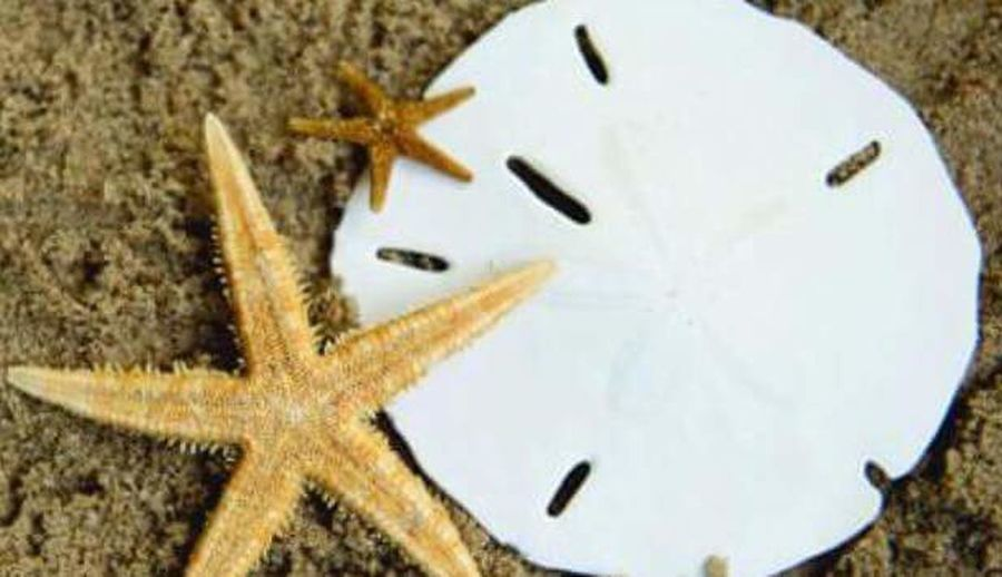 Starfish and sand dollar Starfish  Sand Dollar Beach Life Hanging Out Walking The Beach Shell Hunting Florida Life Springtime