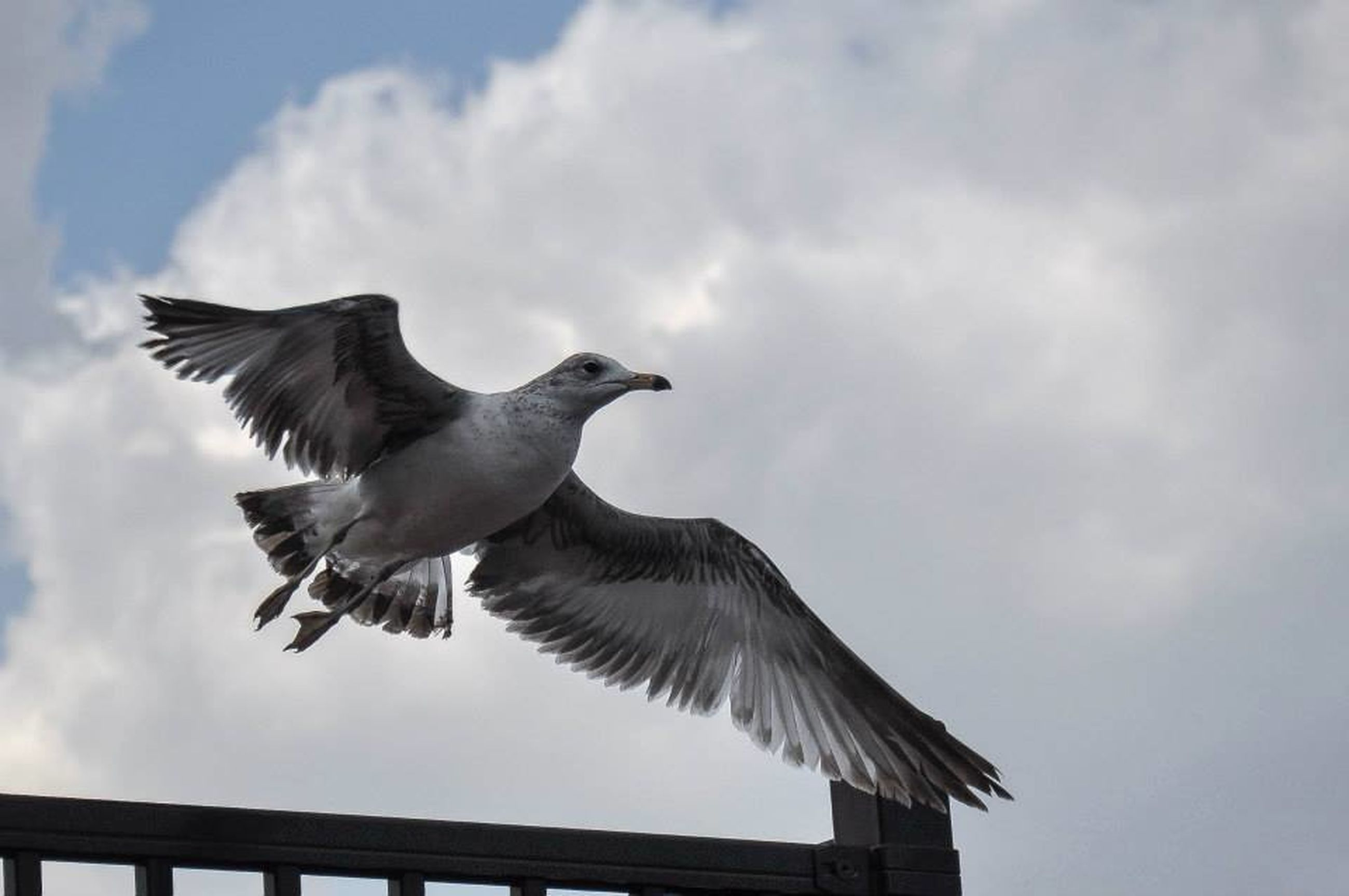 bird, animal themes, animals in the wild, spread wings, flying, low angle view, wildlife, sky, seagull, one animal, cloud - sky, mid-air, cloud, cloudy, full length, nature, day, outdoors, perching, no people