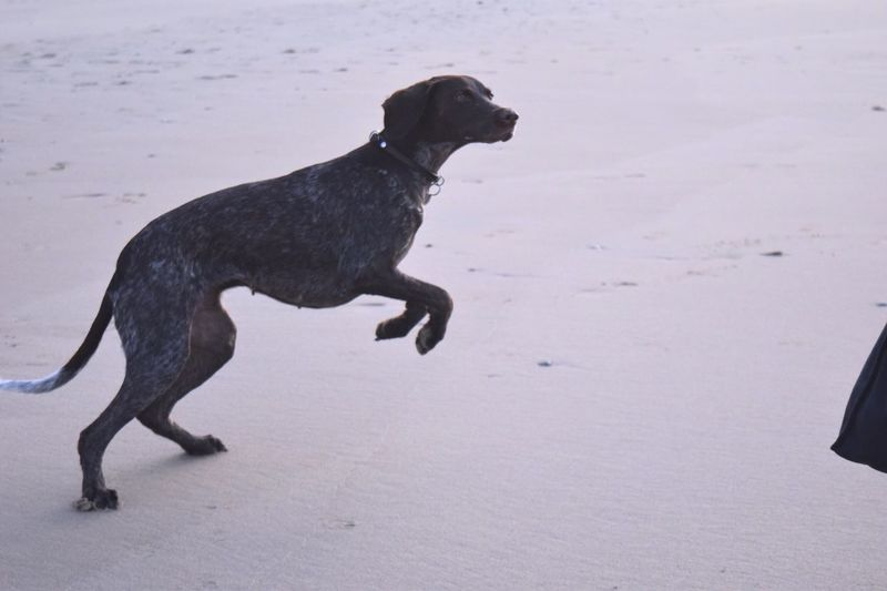 play on the beach I Love My Dog Gsp Dog Beach Heading Out Enjoying Life Weekend Waiting For The Ball Nikon