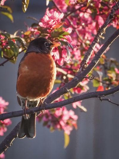 a spring robin