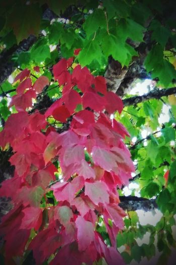 Leaf Growth Low Angle View Pink Color Season  Autumn Red Scenics Green Color Vibrant Color