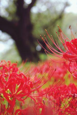 曼珠沙華 彼岸花 権現堂堤 Pentaxk3 Plant Close-up Red Flower