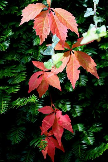 Autumn 🍂 colours Leaf Plant Part Plant Growth Beauty In Nature Tree Nature Freshness Autumn No People Close-up Outdoors Green Color Focus On Foreground Branch Change Red Day Leaves