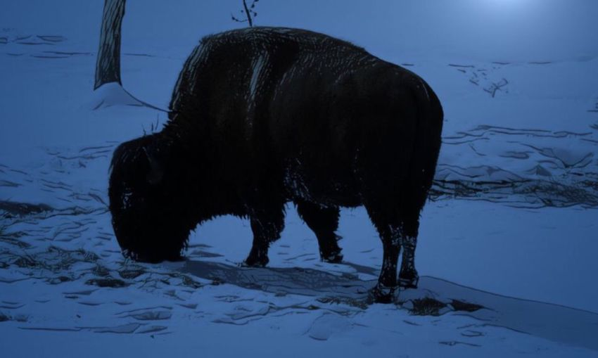 Bison in artificial moonlight Snow
