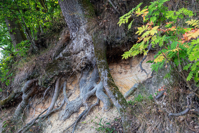 Tree Plant Tree Trunk Forest Trunk Land Nature No People Growth Plant Part Day Tranquility Root Beauty In Nature Outdoors Green Color Leaf Textured  Close-up WoodLand Bark Baumwurzel Am Hang Ausgewaschen Regen Natur Pur