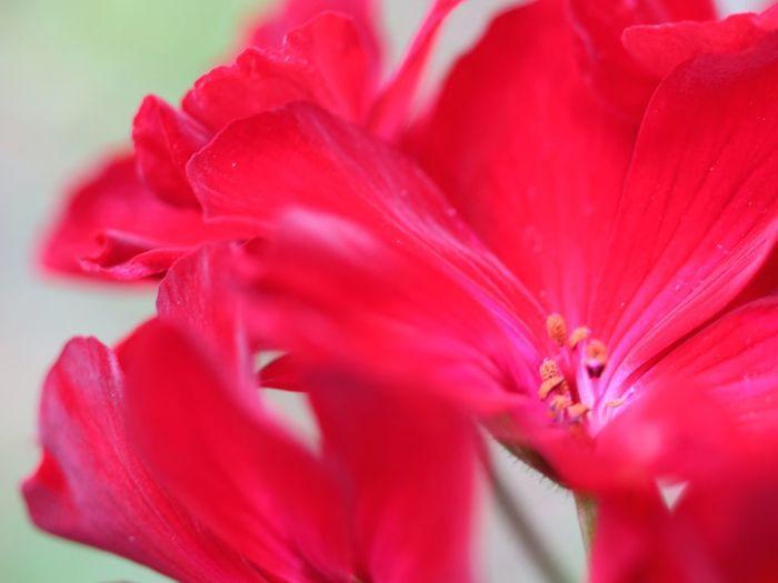 Macro shot of red rose flower