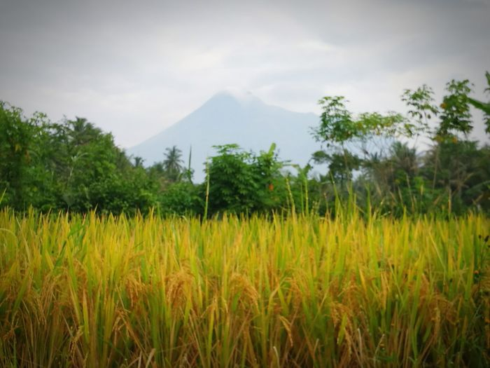 Mountain Tree Nature Outdoors Landscape Social Issues No People Agriculture Beauty In Nature Rice Paddy Sky
