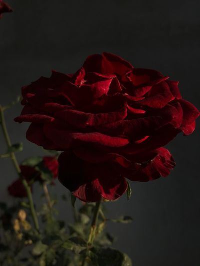 Rose in bloom Rose - Flower Flower Flowering Plant Petal Freshness Beauty In Nature Plant Vulnerability  Red No People Day