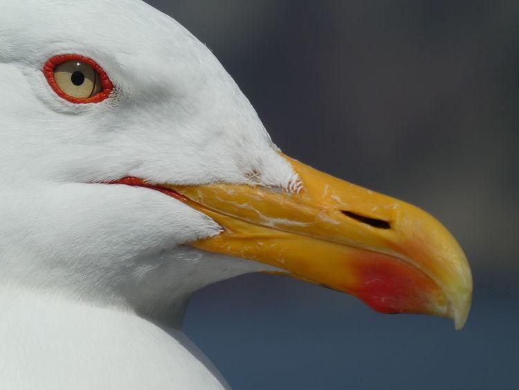 Close, closer, macro Bird Beak Animal Body Part Close-up Multi Colored Nature Animals Seagull Eye Macro Part Of Head Part Of Face Portrait EyeEm Gallery