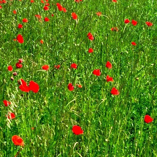 IPhoneography France Landscape_Collection Landscape_photography Auvergne Myauvergne Landscape Enjoying Life Poppies  Flowers
