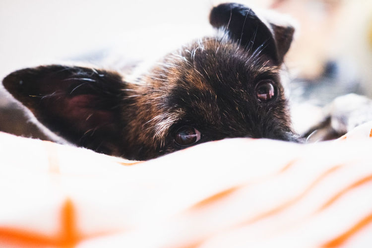 One Animal Mammal Pets Domestic Animal Themes Domestic Animals Animal Canine Dog Vertebrate Selective Focus Close-up Relaxation Indoors  No People Bed Furniture Portrait Animal Body Part Looking At Camera Animal Head  Whisker