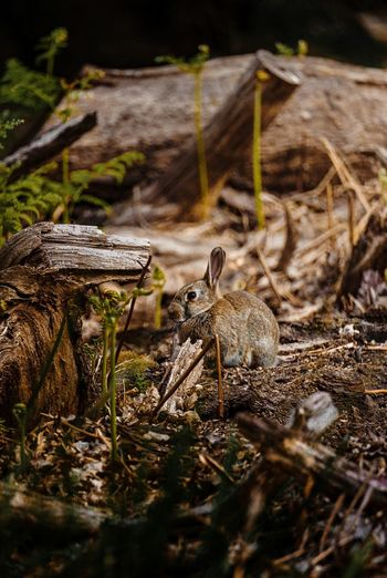 Close up of rabbit amongst dead wood in forest