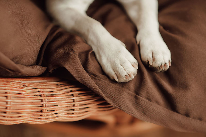 White legs of a dog jack russell with claws on a brown plaid in a wicker basket