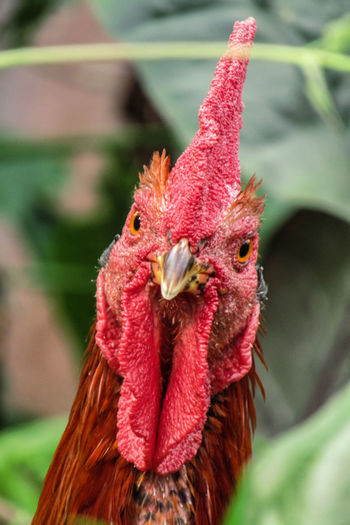 the rooster Bird Photography Chıcken Red The Rooster Animal Animals In The Wild Animal Wildlife Green Nature Photography Green Leaves Nature_collection Bright Nature Afternoon Noon The Morning Color Close Up Green Nature Beauty In Nature No People Outdoor Plant Outdoors Bird Cockerel Rooster Portrait Red Looking At Camera Animal Crest Chicken - Bird Close-up Livestock Animal Eye Chicken Hen Hen Baby Chicken Poultry Turkey - Bird Cardinal - Bird Cage Feather  Pelican Thanksgiving Peacock Peacock Feather Kingfisher Roast Turkey Animal Neck Hornbill Animal Head