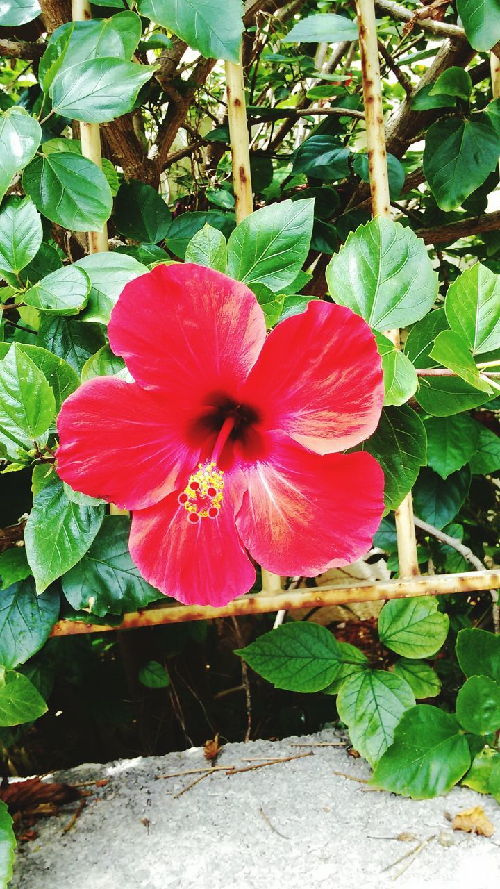 flower, growth, leaf, fragility, nature, petal, beauty in nature, freshness, plant, flower head, day, outdoors, no people, pink color, hibiscus, blooming, close-up