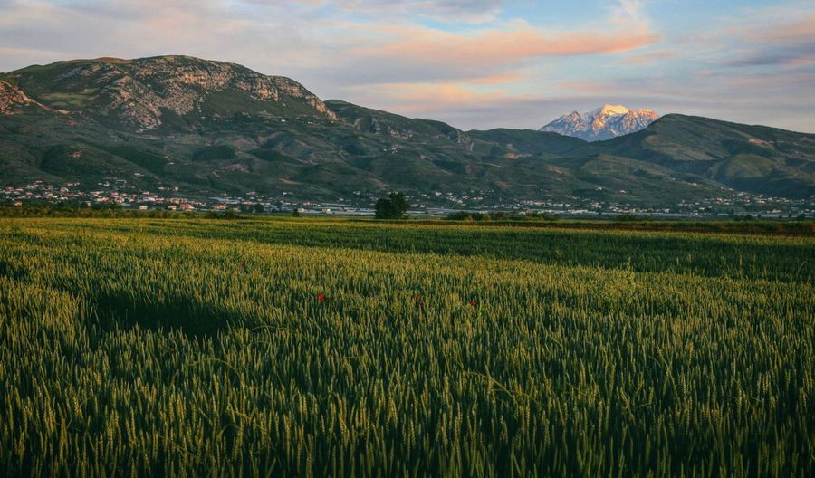 Wheat Field Countryside The Great Outdoors Taking Photos Feeling Creative EyeEm Best Shots EyeEm Nature Lover Nature Freshness Growth Relaxing View Tranquility Albania Mountain Rural Scene Sunset Agriculture Beauty Field Crop  Cultivated Land Agricultural Field