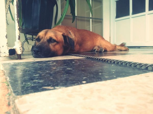 Dog Perro Sleeping Tired
