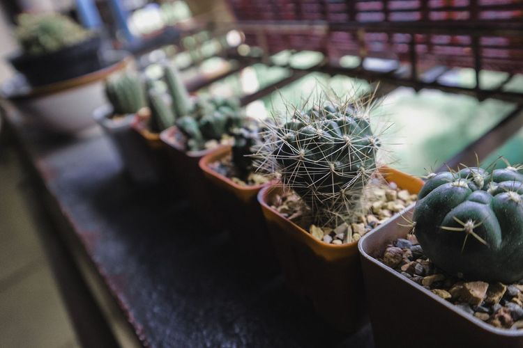 High angle view of potted cactus plants