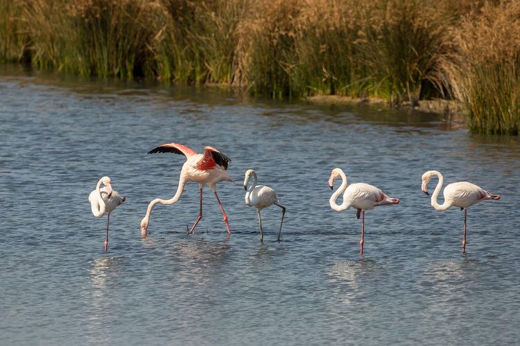 Flamingos standing in lake