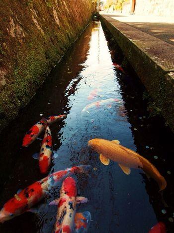 「こいのおよぐみち」宮崎県飫肥 Nature Street Street Photography