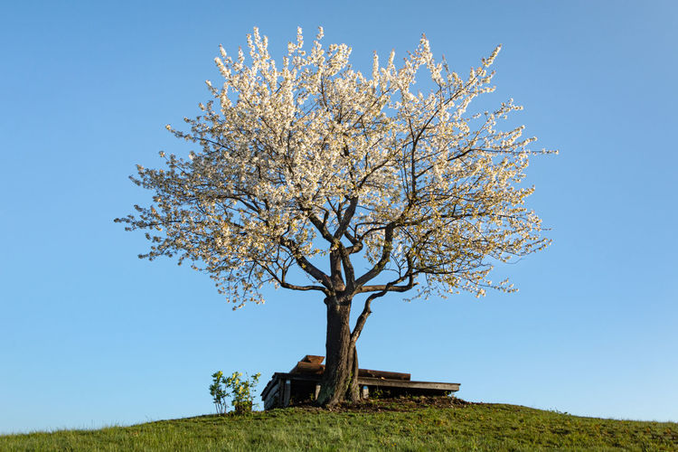 Low angle view of flowering tree on field against clear sky