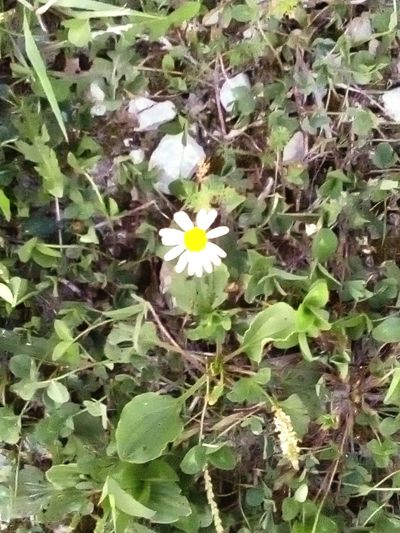 Nature Photography Flowerlover Daisy Whiteyellowgreen Aloneagainsttheworld Meadow Meadow Flowers