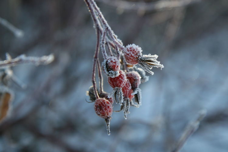 Close-up of frosted berries