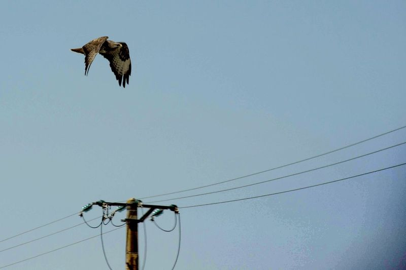 buzzard flying with electric cables Animals Nikon Nikonphotography Work Lifestyles Nikonphotographer Flying Fly Bird Flying Electricity Pylon Technology Telephone Line Cable Electricity  Sky Animal Themes