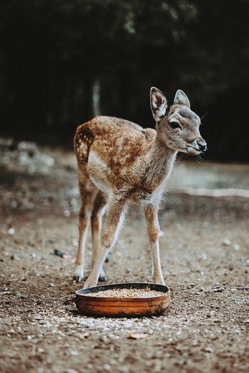 Animal Wildlife Animal One Animal Standing Animals In The Wild Mammal No People Nature Animal Themes Full Length Outdoors Day Bambi The Week On EyeEm Tranquility Safari Animals Animals In The Wild Fresh On Market 2017