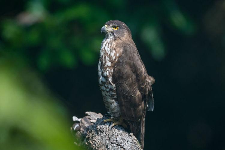 Close-up of goshawk perching on tree