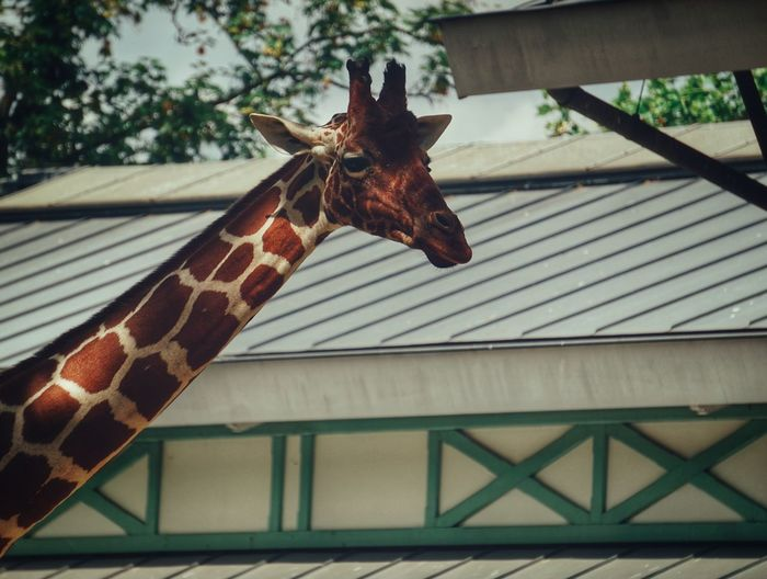 2019 Niklas Storm Juli Portrait Close-up Giraffe Animal Markings Zoo Animals In Captivity Safari Animals Animal Neck My Best Photo