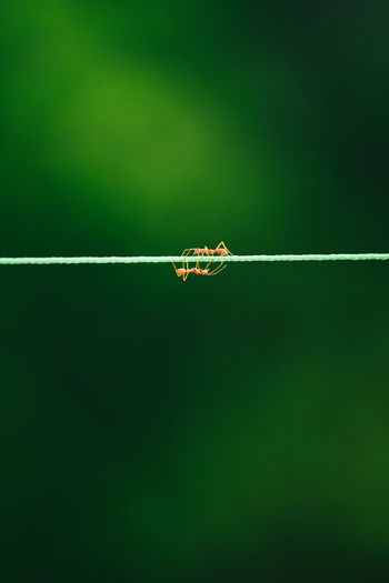 Close-up of ants on string