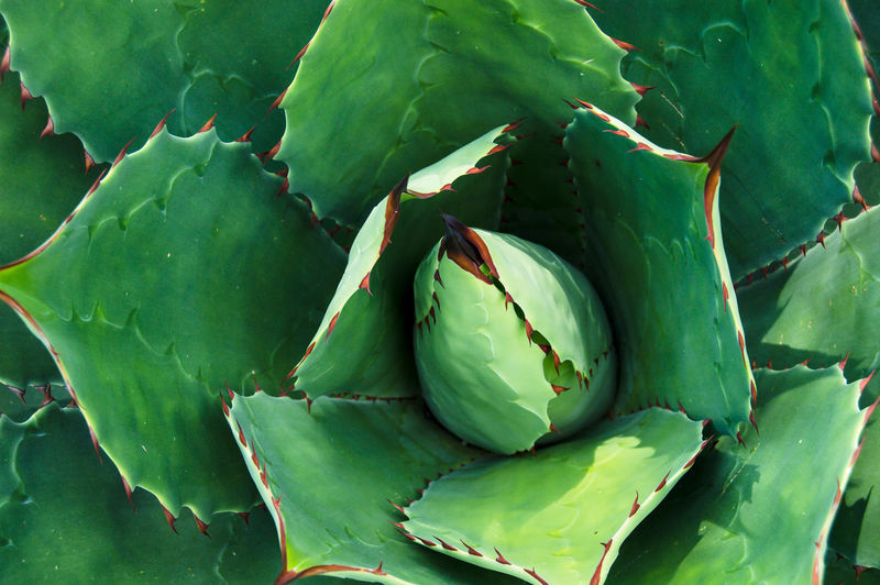 maguey Green Color Leaf No People Growth Close-up Healthy Eating Food Directly Above Freshness Nature Healthcare And Medicine Full Frame Plant Day Outdoors Prickly Pear Cactus