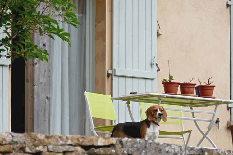 Beagle dog at entrance of house